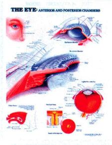 The Eye: Anterior & Posterior Chambers